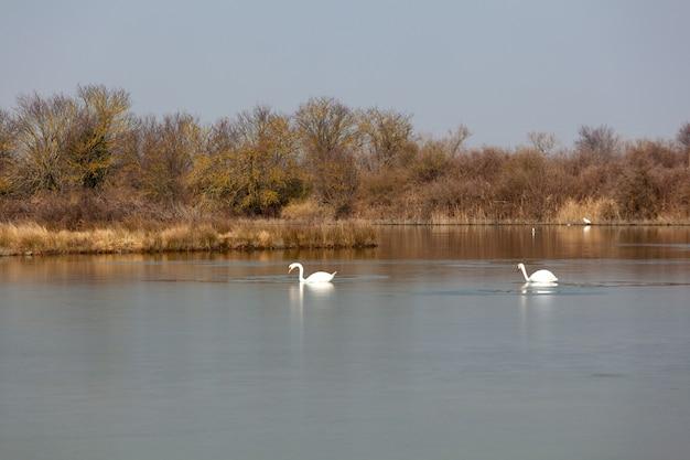 イタリア、ヴァッレ運河ノボの自然保護区の白鳥