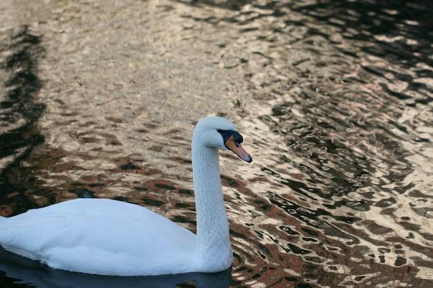 自然の中の白鳥