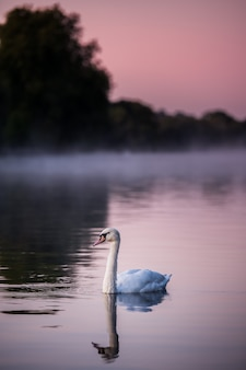 水の中の白鳥