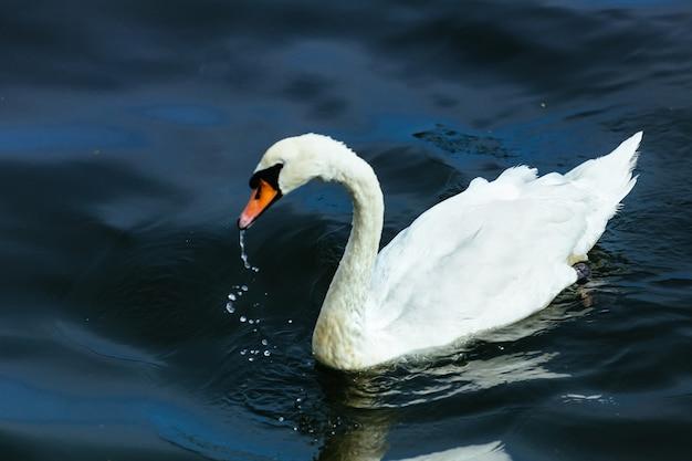 Swan lake water summer
