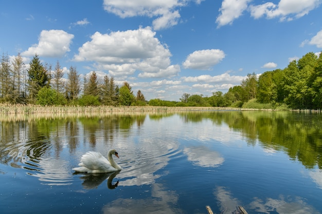 Swan on a lake with mirrored blue sky with white clouds, trees and reeds on shore