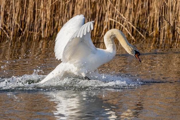 Лебедь приземляется в болотах ампурдана.