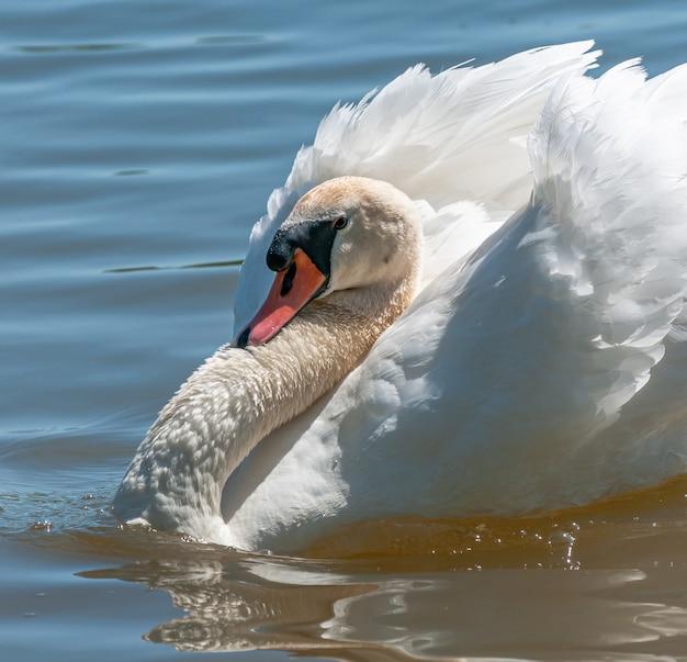 Самец лебедя красуется на воде