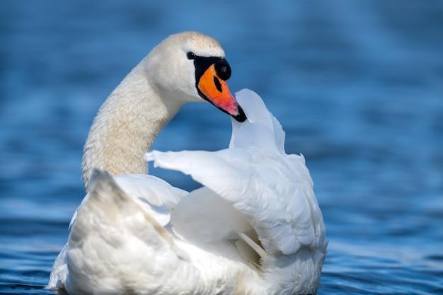 澄んだ深い青の川の反射に白鳥