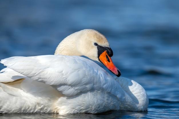 澄んだ深い青色の川の反射の白鳥