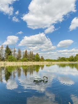 Лебедь на озере с зеркальным голубым небом с белыми облаками, деревьями и камышами на берегу
