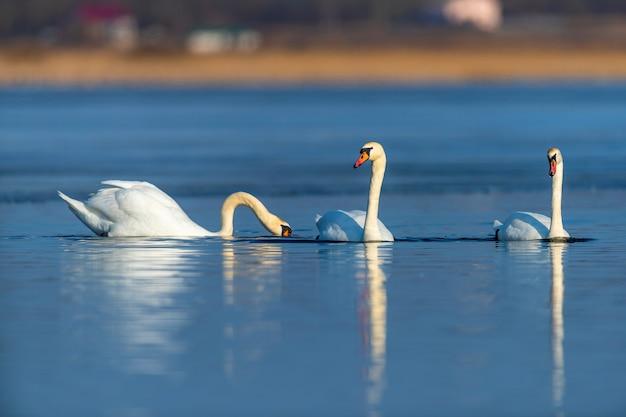 晴れた日の青い湖の水に白鳥、池に白鳥