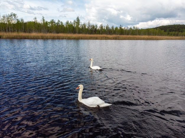 青い湖の水に白鳥します。