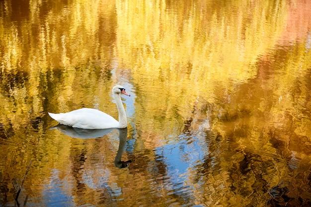 Лебедь на осенней реке на рассвете
