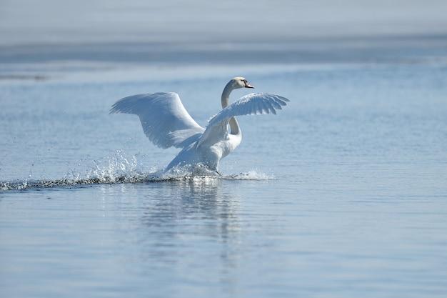 水から昇る白鳥と水しぶきが飛び散る