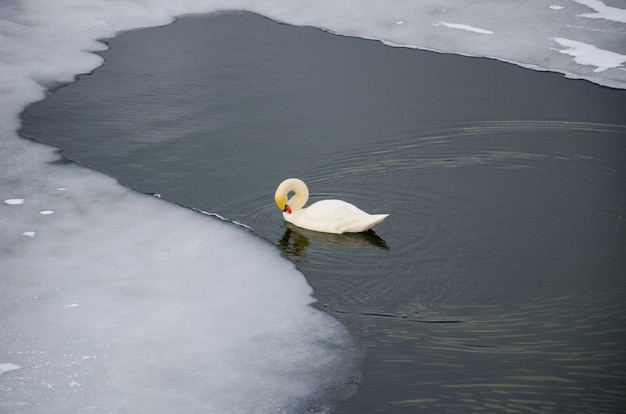 Swan on the river near the ice