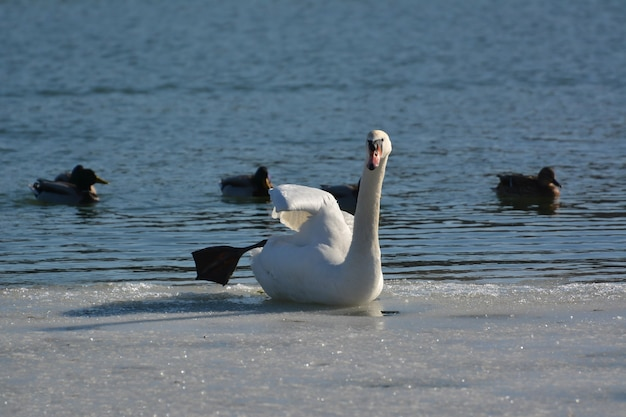Лебедь сидит на льду у реки