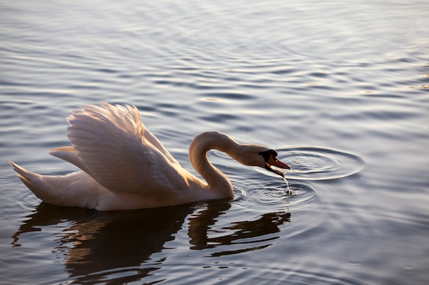 Swan in spring, beautiful waterfowl swan on the lake in the spring, lake or river with a swan, closeup