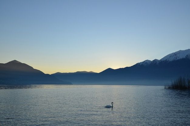 Swan swimming in alpine lake maggiore with mountains at dusk in ticino, switzerland