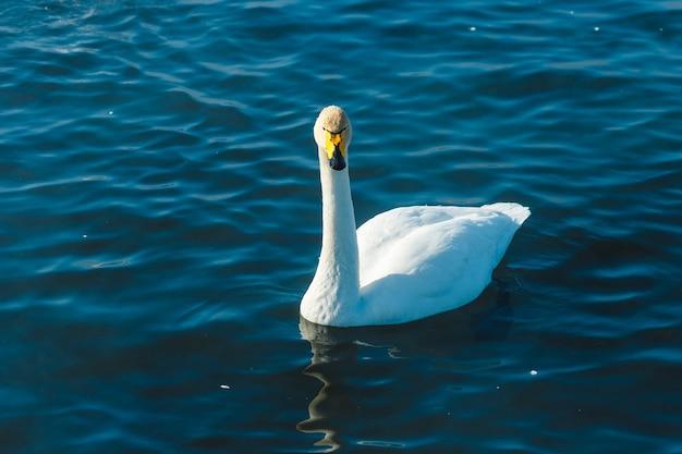 야외 호수에서 물에서 수영하는 백조