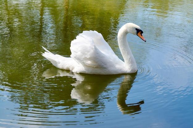 白鳥は湖で泳ぐ