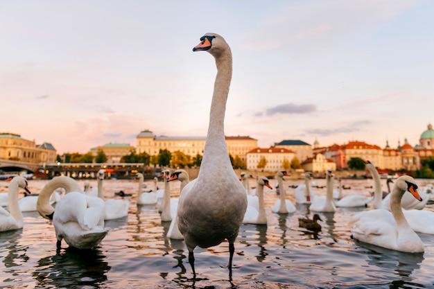 Лебедь гуляя на побережье реки в праге с scape города на предпосылке.