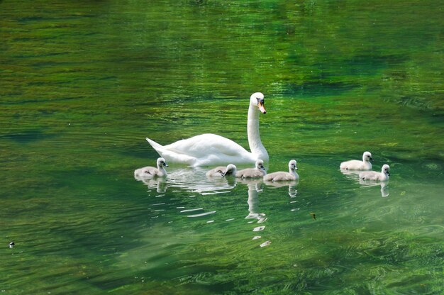 Swan with cygnets on a lake