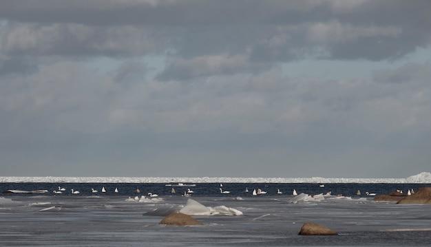 氷と雪に囲まれた白鳥、フィンランド湾の冬