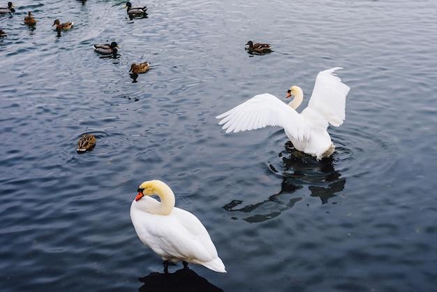 Лебеди и утки на озере.
