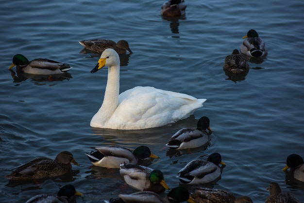 Лебеди и утки плавают в озере
