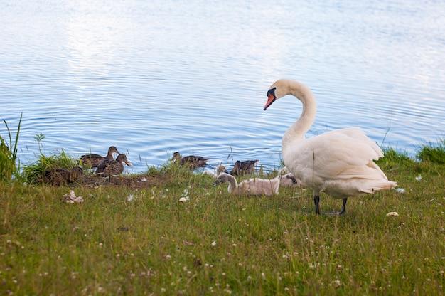 白鳥は、シグナス属に属するアナ科の鳥です。白鳥の近親者にはガチョウとアヒルが含まれます。亜科anserinaeのガチョウと密接に関連する白鳥は、cygnini族を形成します。