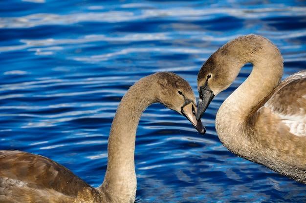 青い水にハートの形をした白鳥のカップル