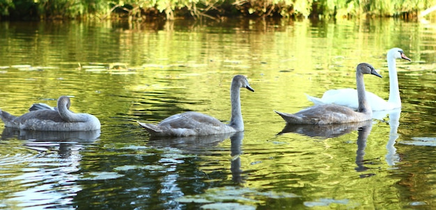 白鳥の家族 無料写真