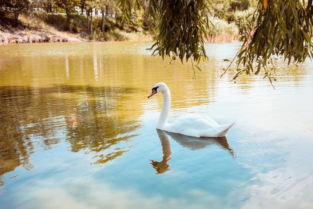 白鳥が湖、青い水、オレンジ色の草に浮かぶ