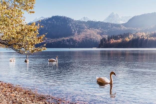 湖に浮かぶ白鳥、山と葉のあるヴィンテージの秋の風景
