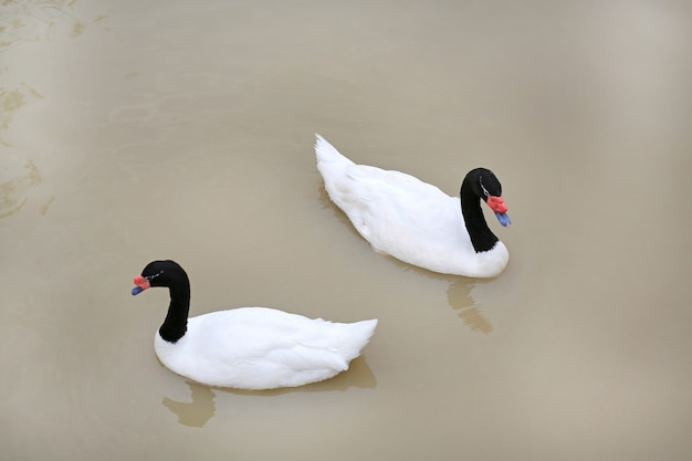 Swans floating in pond.