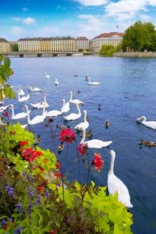 Swans in geneve geneva of switzerland swiss