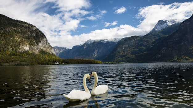 Swans in hallstatt lake making a heart.