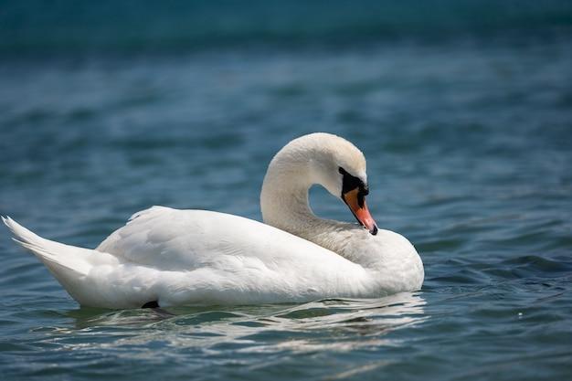 ハイドパーク湖の白鳥