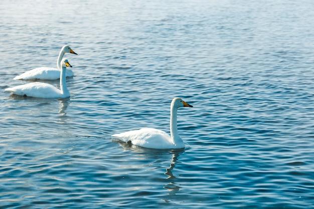 야외 호수에서 물에서 수영하는 태양의 백조