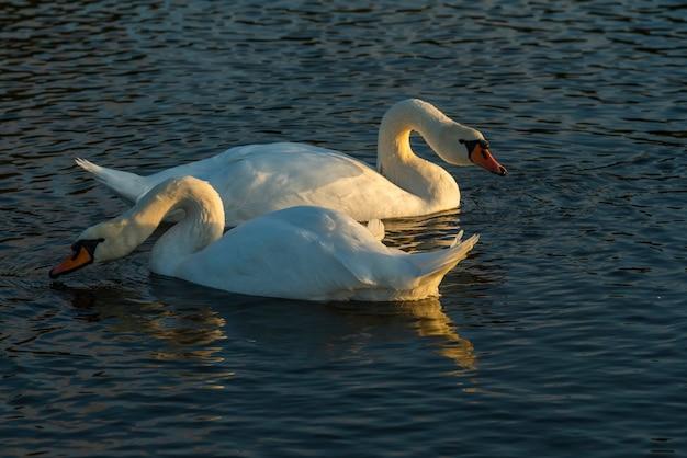水の中の白鳥、池の大きな鳥