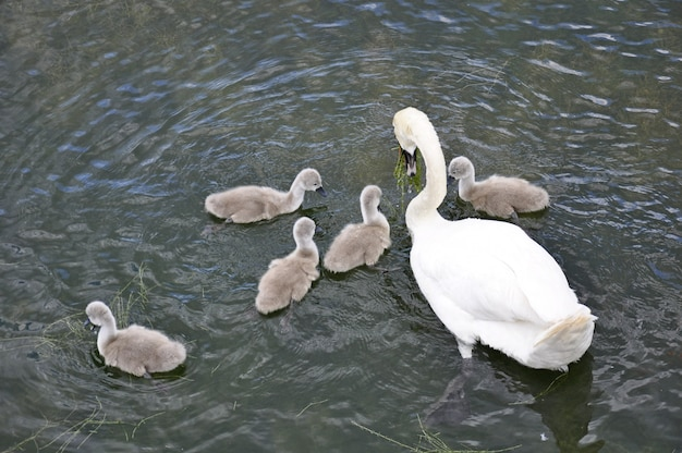 Swans on the lake. swans with nestlings. swan with chicks.