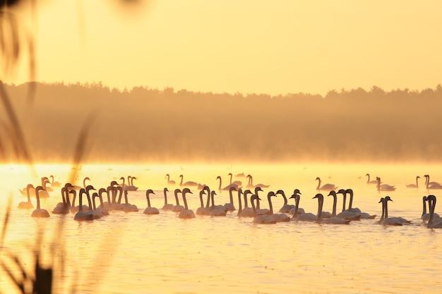 새벽에 호수에 백조