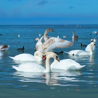 Лебеди на озере с голубой водой