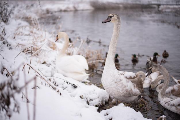 Лебеди на озере с птенцами зимой. для любых целей.