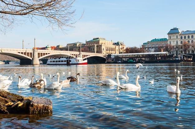 チェコ共和国プラハのヴルタヴァ川の白鳥