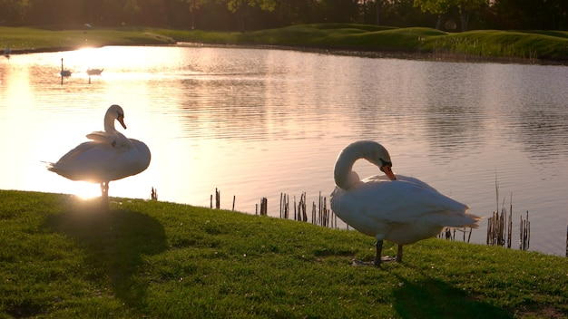 Swans pecking feathers on a green lawn. white swans on meadow at sunset. against the background of a lake.