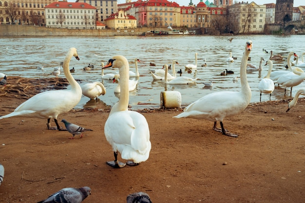 Swans in prague on the river landscape  czech capital, white swans on the river next to the charles bridge, czech republic, tourism
