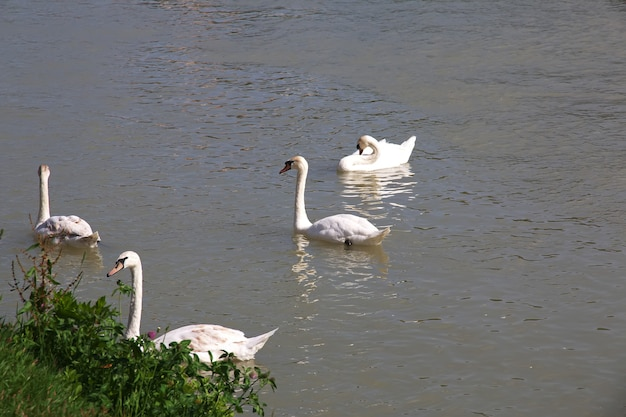 The swans in river