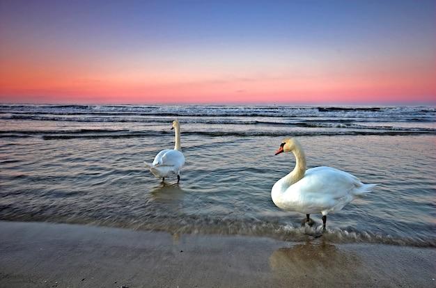 Swans in sea water