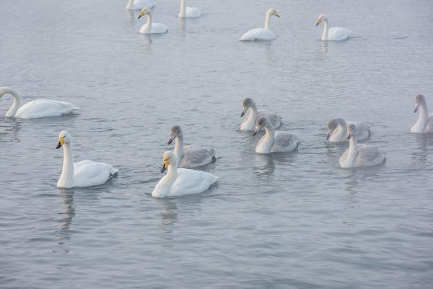 湖で泳ぐ白鳥