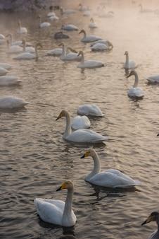 Лебеди плавают в озере