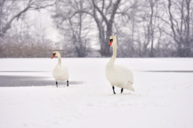 Swans in winter. beautiful bird picture in winter nature with snow.