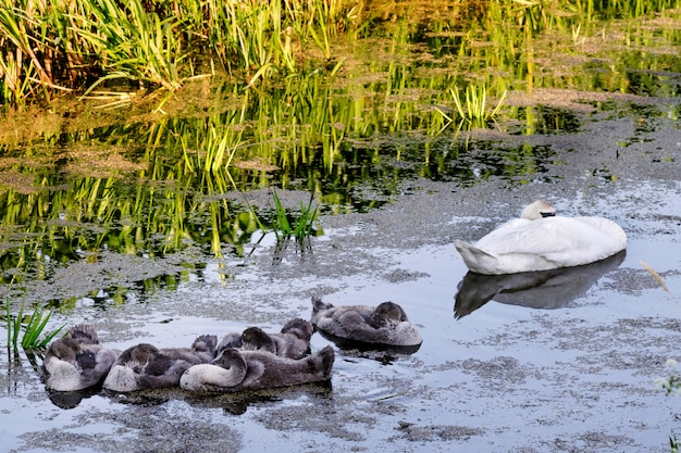 Swans with nestlings on the pond.