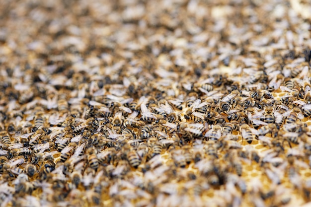 Swarm of bees in apiary